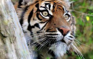 bioparco tigre