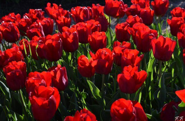 tulipark